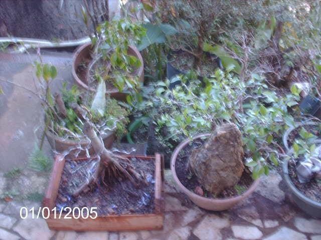 Ficus Microcarpa var. Indica... PICT1625