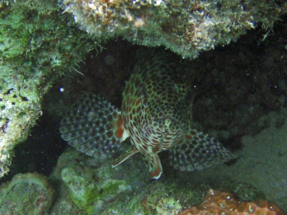Epinephelus merra (Honeycomb Grouper), Aitutaki.