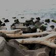 18 kmene stromov z v. pobrežia po vyčíňaní tajfúnu morské prúdy priniesli až do Kauhsiungu.jpg