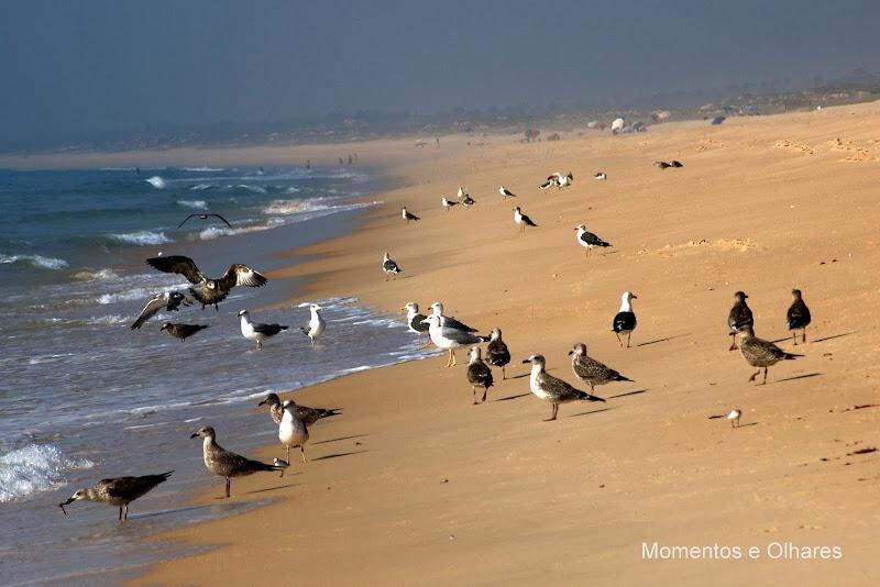 Gaivotas na praia do Carvalhal