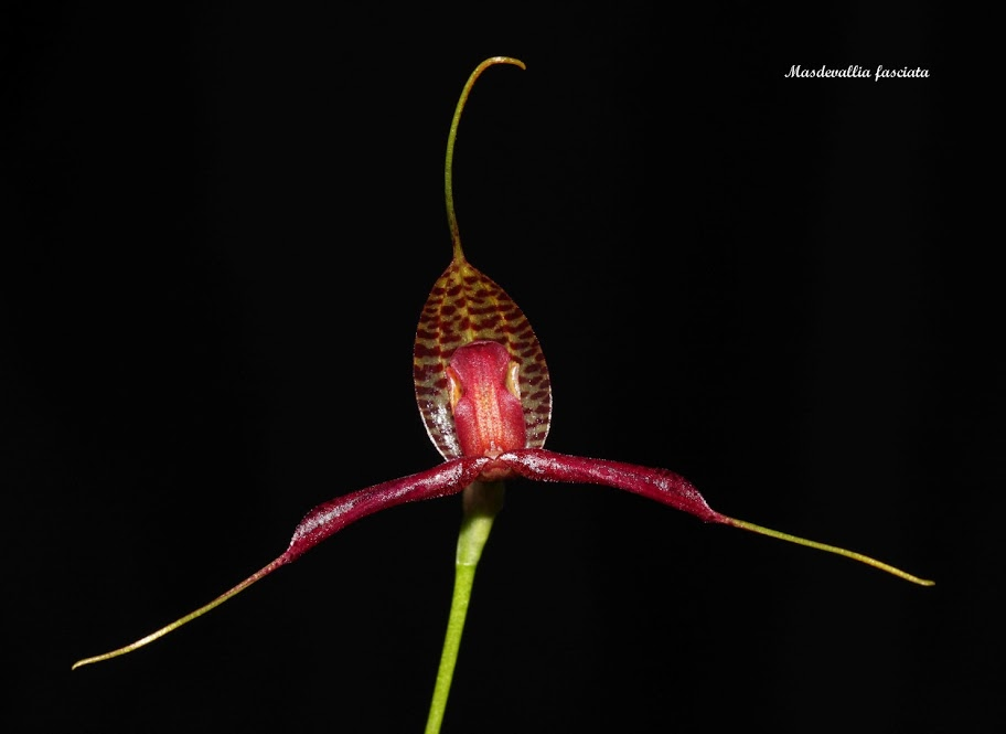 Rodrigoa fasciata ( ex. Masdevallia fasciata ) IMG_7940b%2520%2528Large%2529