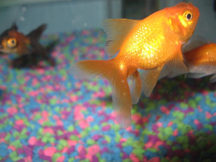 goldfish%2520019.jpg