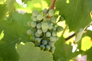Wine grapes in the Douro Valley
