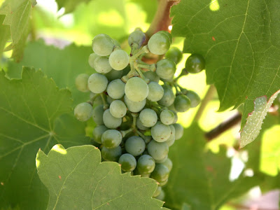 Grapes in the Douro Valley in Portugal
