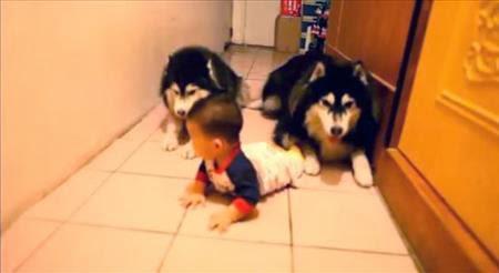 Perros imitan a bebe que gatea