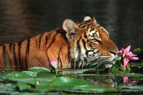 Harimau Sumatera Panthera tigris sumatraensis