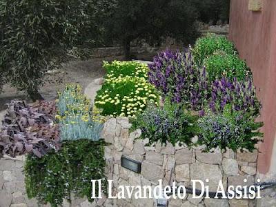 Il nostro catalogo piante il lavandeto di assisi vivaio - Piante mediterranee da giardino ...