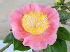 濃桃〜桃紅色 一重 平開咲き 梅芯 中輪