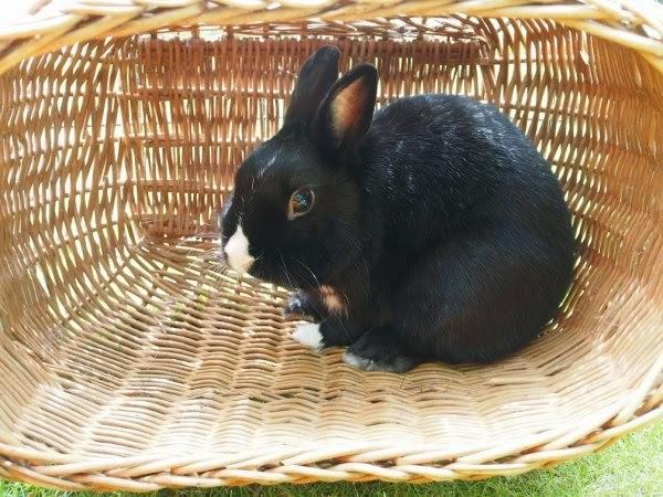 Prince, petit lapin noir-[adopté] Prince12-885b9