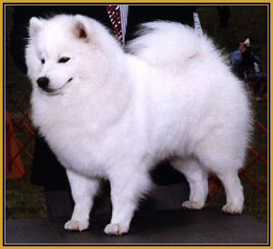 American eskimo dog height standards two classes miniature m 12
