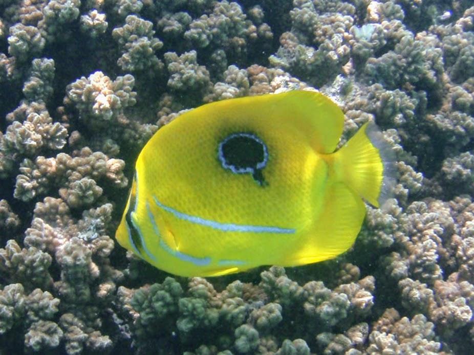 Chaetodon bennetti (Bennett Butterflyfish), Aitutaki.