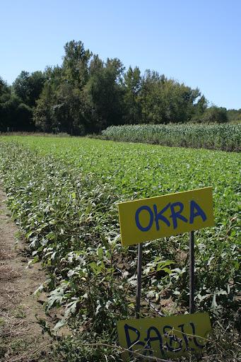 Okra at the Poughkeepsie Farm Project, Poughkeepsie, NY