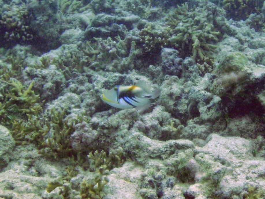 Rhinecanthus aculeatus (Picasso Triggerfish), Naigani Island, Fiji.