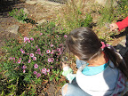 Student looks for invertebrates on a flowering aster.