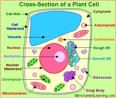 Plant And Animal Cell Pics. Animal Cell Model Labeled