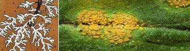 ciri, struktur tubuh, daur hidup,  dan peranan basidiomycota