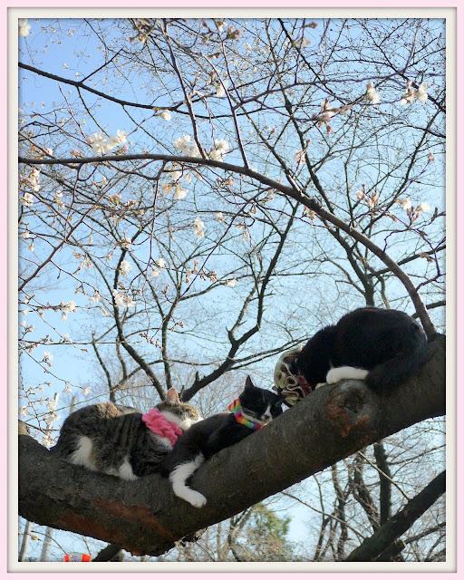 2013年東京で桜の開花宣言
