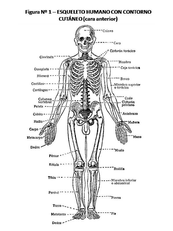 Pinto Dibujos: Esqueleto humano con nombres para colorear