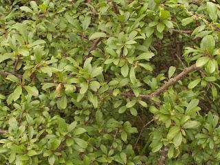 Blackthorn (Sloe) - Prunus spinosus