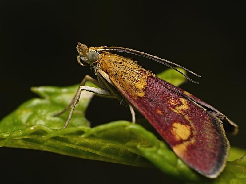 Papillon à la menthe G1290725