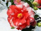 濃紅色地 白斑入り 八重 小さい筒しべ 花糸淡紅色 中〜大輪