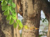 https://lh5.googleusercontent.com/-0DcIdLxBD_A/T4VLTkvNLfI/AAAAAAAAAWc/dI7kjGA5yvg/s1600/White+Orchid+Tree+-+Tender+Leaf.jpg