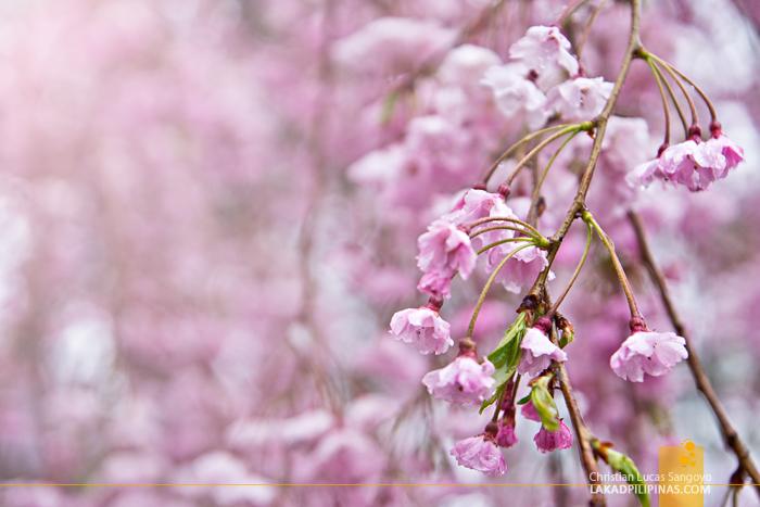 Dreaming of Sakuras En Route to Kanagawa's Odawara Castle