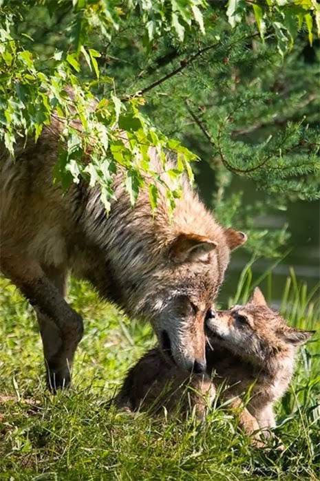animals, photo, wolf