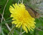 会場に咲く夏のタンポポ「セイヨウタンポポ」UP 2012-10-09T01:51:57.000Z