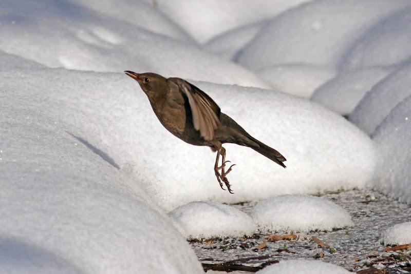 Turdus merula femela pasari iarna zapada Herastrau