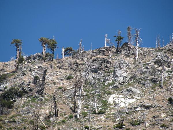 trees along the ridge