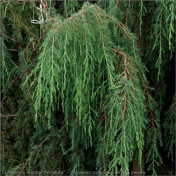 Juniperus rigida 'Pendula' - Jałowiec sztywnoigłowy 'Pendula'