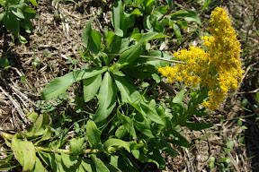 Rough Goldenrod
