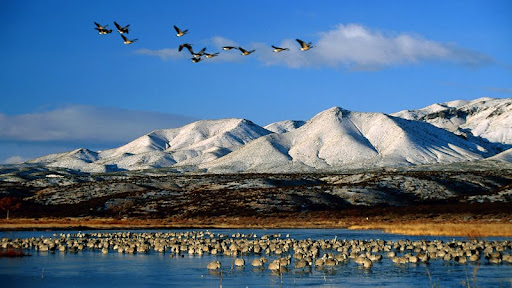 Sandhill Cranes & Flying Canadian Geese, New Mexico.jpg