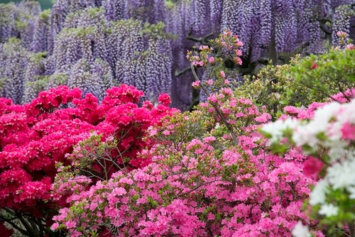 embora as flores de cerejeira estejam ligadas a esta estao h muitas outras flores que representam a primavera no japo
