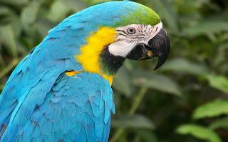 Blauw gele papegaai
