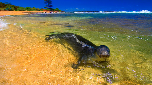 Swiming Monk Seal, Kauai, Hawaii.jpg