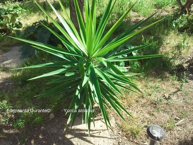 Plantas para jardines mediterr neos yucca aloifolia for Planta yuca exterior