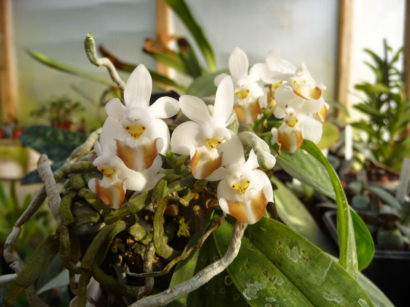 Phalaenopsis lobbii P1220351