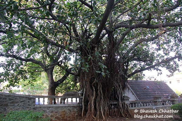 A banyan tree in the premises of St. Mary's Church, Pune