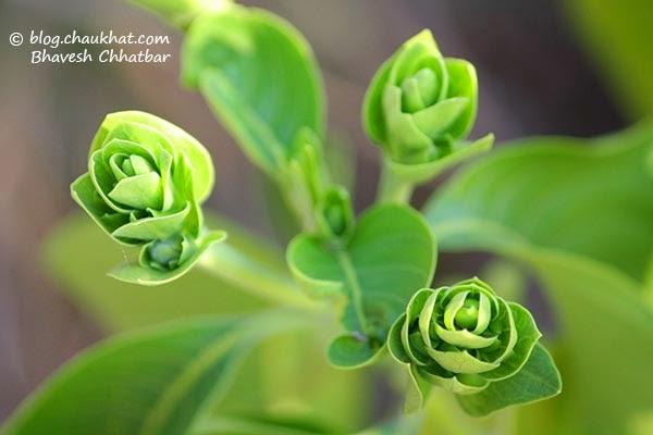 Rosette leaves