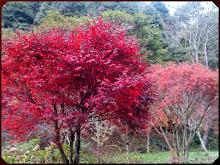 杉林溪藥花園楓樹爆紅