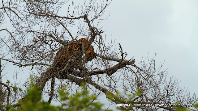 Leopard perched on a leafless tree at Yala National Park