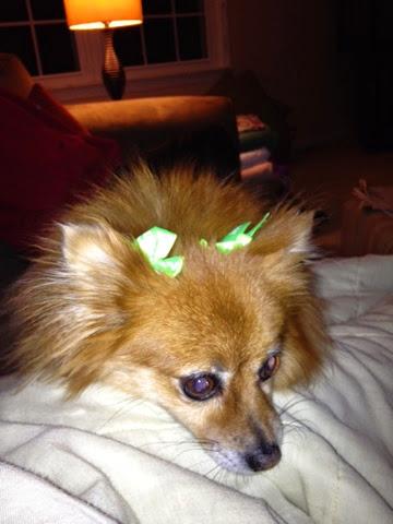 Ginger the Pomeranian