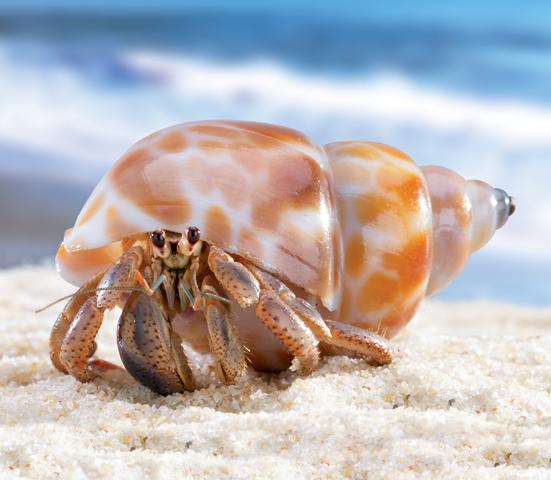 Hermit crab - photo#1