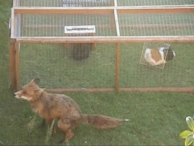 Critter corner guinea pig housing for Outdoor guinea pig cage