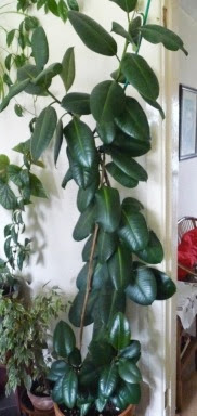 Figowiec sprężysty Ficus elastica