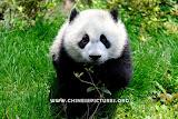 Chinese Panda Photo 8