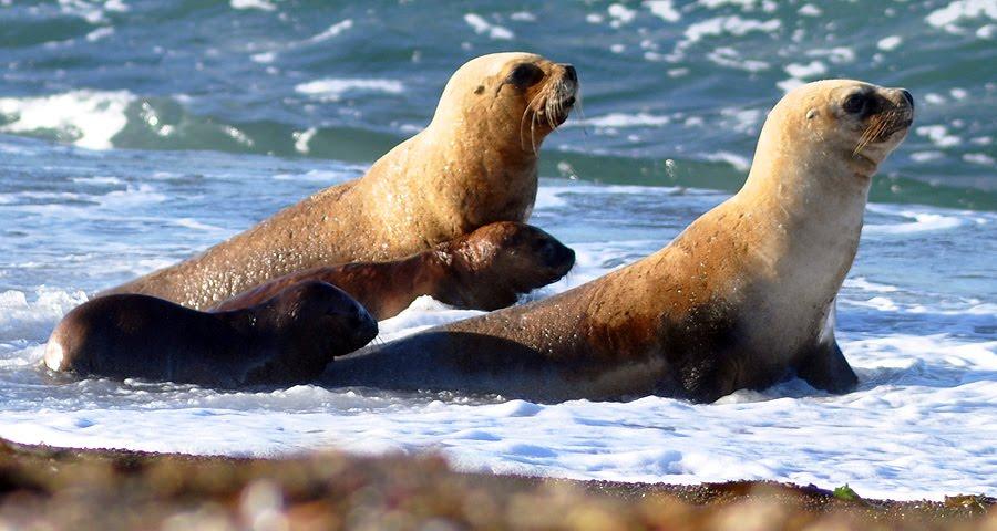 lobas marinas con sus crias en Península Valdés