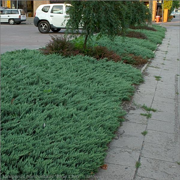 Juniperus horizontalis 'Blue Chip' - Jałowiec płożący 'Blue Chip' przykład zastosowania w zieleni miejskiej